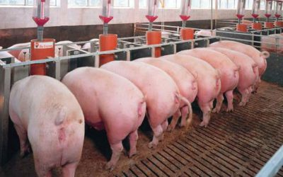 El sector porcino español referente internacional en sostenibilidad